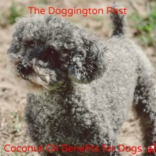 Buster 225x225  Benefits of Coconut Oil for Dogs